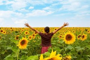 Sunflower field cropped